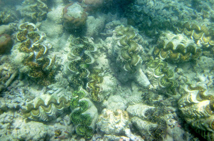 Giant clam shellfish