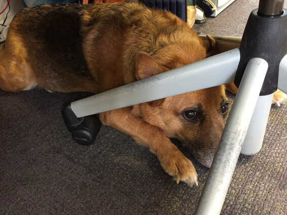 Ava makes herself at home relaxing under a chair
